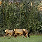 In the wild, Roosevelt Elk rarely live beyond 12 to 15 years, however in captivity they have been known to live over 25 years.